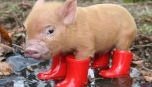 cute-pig1