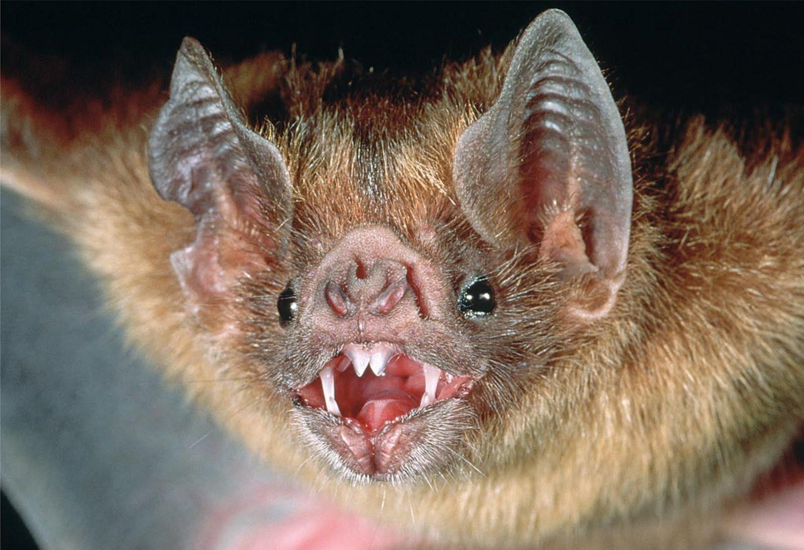 [Image: vampire-bat.jpg]